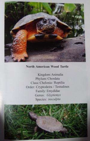 Wood_turtle_2
