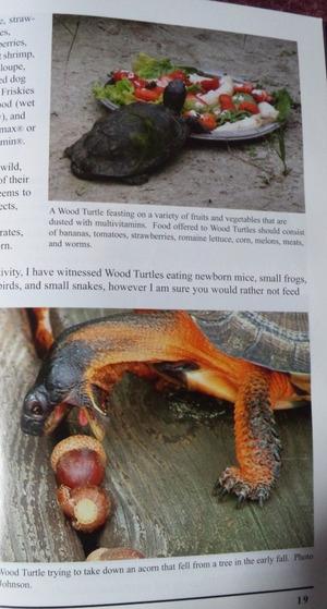 Wood_turtle_4