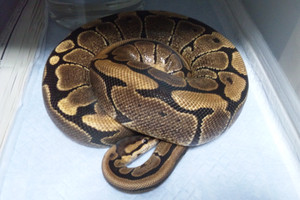 Woma3