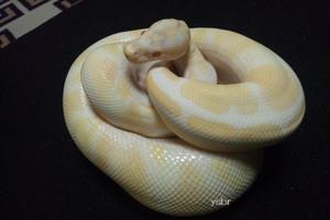 Albino10