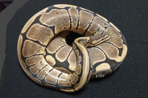 Woma1