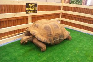 Jrs_garapagos_tortoise3