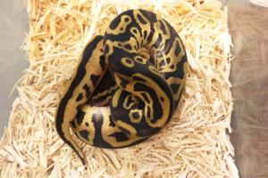 Pastel_leopard1
