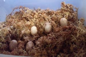 Woodturtle_eggs_nov041