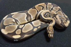 Genetic_tiger_banana_female_oct033