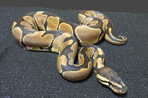 Genetic_tiger_banana_male_nov045
