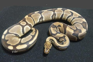 Genetic_tiger_banana_female2012oct2