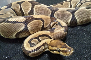 Genetic_tiger_banana_2013jun222