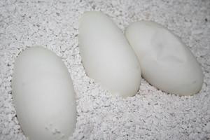 2013_eggs_clutch62