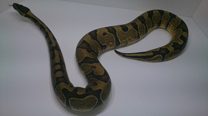 Enchi_male_2014jan255