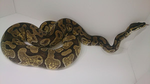 Enchi_pk_female_2014jan254