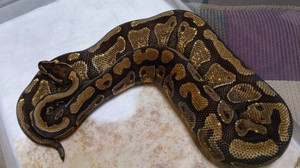 Enchi_harlequin_2014feb221