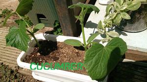 2014apr077_cucumber