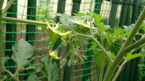 2014may025_tomato