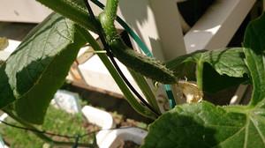 2014may105_cucumber