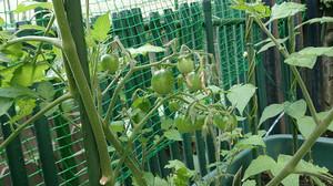 2014may283_tomato
