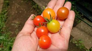 2014jun201_tomato
