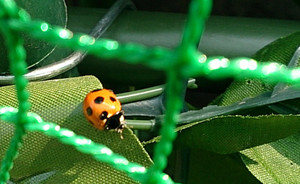 Ladybird_2014may161