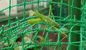 Praying_mantis_2014jul131