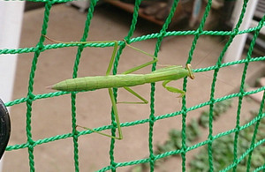 Praying_mantis_2014jul133