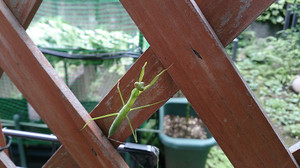 Praying_mantis_2014jul142