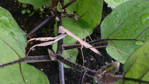 2014jul251_praying_mantis