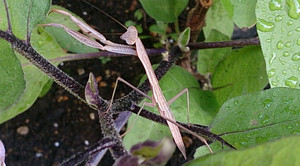 2014jul252_praying_mantis