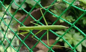 Praying_mantis_2014jul137
