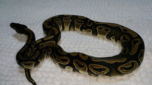 Fh_mojave_female_2014jul276