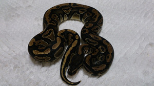 Fh_mojave_female_2014jul277