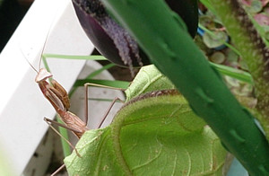 2014aug092_praying_mantis