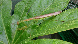 2014aug279_praying_mantis