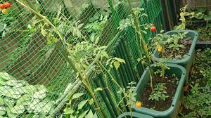 2014aug152_tomato