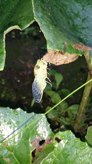 2014sep011_cicada