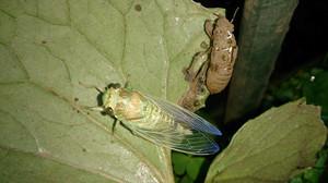 2014sep013_cicada