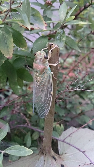 2014sep018_cicada