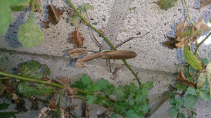 2014sep052_praying_mantis