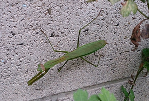 2014sep095_praying_mantis