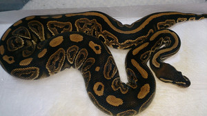 Black_cinnamon_2014oct191