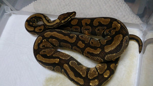 Enchi_harlequin_2014oct101