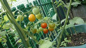 2014jun192_tomato