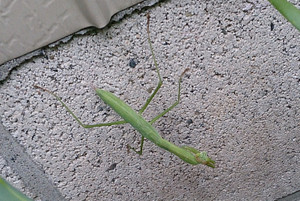 2015jul302_praying_mantis