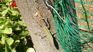 2015aug152_praying_mantis