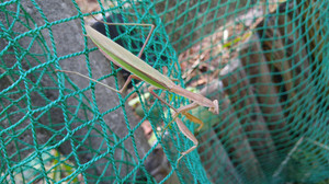 2015aug181_praying_mantis