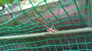 2015aug201_praying_mantis