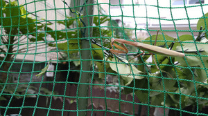 2015aug253_praying_mantis