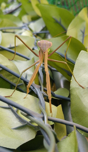2015sep022_praying_mantis