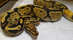 Lemon_back_female_2015aug282