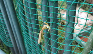 2015sep039_praying_mantis