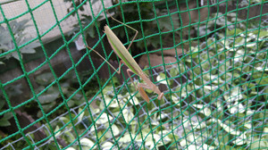 2015sep054_praying_mantis